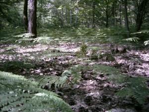 """Le Pteridofite (Pteridophyta) sono una divisione di piante crittogame vascolari a cui appartengono specie usualmente note come felci, equiseti, licopodi e selaginelle.[1] Queste piante sono cormofite: sono costituite da un fusto, vere radici e foglie, e posseggono un sistema vascolare. Sono difatti le prime piante terrestri che hanno cominciato a differenziare un sistema di trasporto dei fluidi, permettendo così un ulteriore accrescimento in altezza a differenza delle Briofite (muschi) che non sono riuscite ad affrancarsi totalmente dalla vita acquatica. Le Pteridofite sono organismi aplodiplonti con alternanza di generazioni antitetiche eteromorfiche con netto predominio dello sporofito sul gametofito. Le felci sono un gruppo antico, apparso già nel Devoniano inferiore e rappresentato ancor oggi da circa 11.000 specie. A differenza di quelle che vengono chiamate """"piante superiori"""" (Angiosperme e Gimnosperme) le felci non sono dotate di semi ma si riproducono mediante spore."""