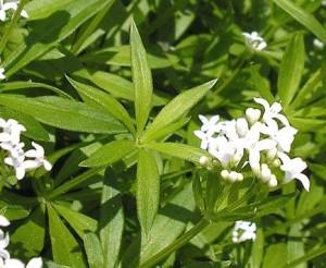 Fresca l'Asperula non è molto profumata ma con l'essicazione sviluppa tutto il suo aroma.