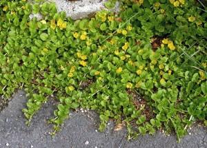 Lysimachia nummullaria è una pianta strisciante appartenente alla famiglia Myrsinaceae. Viene coltivata anche nei giardini come pianta ornamentale, la sua crescita deve però essere controllata per evitare che, crescendo domini sulle altre piante, soffocandole. L'uomo ha selezionato una varietà, aurea essa ha foglie tendenti al giallino ed è meno invadente di quella originaria. Se acclimatata gradualmente può adattarsi a vivere anche in acquario.