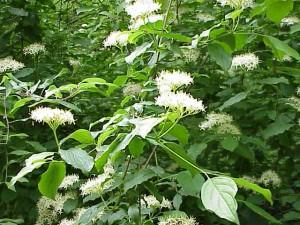 La sanguinella (Cornus sanguinea) è una specie botanica della famiglia delle Cornaceae. Deve il suo nome alle foglie rosse dell'autunno e al legno duro dei suoi rami. Altri nomi sono corniello sanguinello. I frutti sono drupe grandi come un pisello e non commestibili e che in seguito alla maturazione diventano neri. I frutti vengono mangiati dagli uccelli e da alcuni mammiferi.
