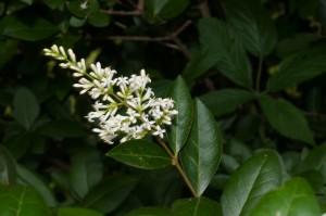 Il ligustro comune (Ligustrum vulgare L.) è una pianta appartenente alla famiglia delle Oleaceae. È anche chiamato conastello, guistrico, olivella, rovistico e sanguinello. Abbondante nei boschi termofili di caducifoglie e talora nelle leccete.