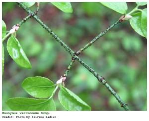Nomi italiani: Cappello da prete rugoso, Evonimo verrucoso, Fusaria rugosa Nome comune: Fusaggine rugosa, fusaria rugosa. Morfologia: Arbusto caducifoglio alto fino a 3 m, con rami cilindrici e glabri; corteccia di colore grigio-verde con numerose verruche scure. Foglie opposte, con lamina ovale e acuminata a margine dentellato, verdi-scure di sopra. Fiori piccoli, giallo-verdastri, con 4 petali arrotondati, riuniti in cime ascellari pauciflore. Frutto a capsula con 4 lobi, prima verde poi rosa: in ciascun lobo è presente un seme circondato da un involucro di color rosso-scarlatto. Areale: Europa sud-orientale, Asia minore, Iran. Habitat: Boschi misti di caducifoglie, soprattutto querceti a roverella; arbusteti. Presenza nel Parco: Raro.