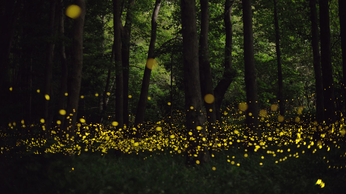 long-exposure-fireflies-at-night-in-japan-tsuneaki-hiramatsu-6